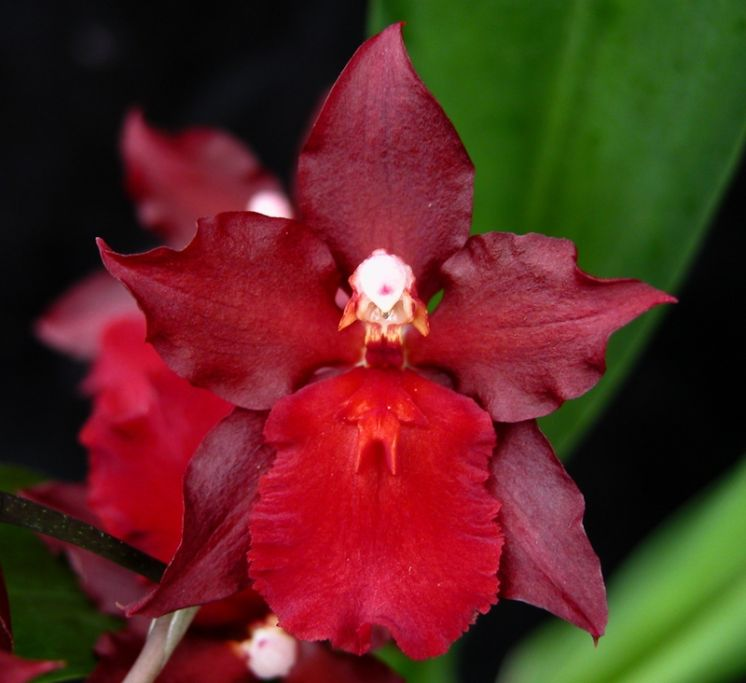 Red Pacific 'Deep Shadows'